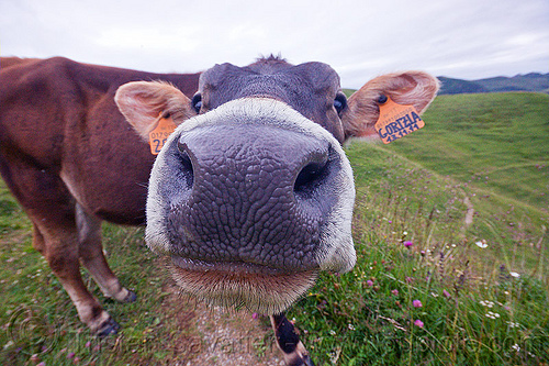 black cow nose, 2050, black nose, black snout, cow nose, cow snout, ear tags, field, gorizia, grassland, nostrils, turf
