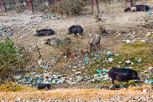 black pigs - plastic trash (india), dump, environment, foraging, garbage, india, pigs, plastic trash, pollution, single-use plastics