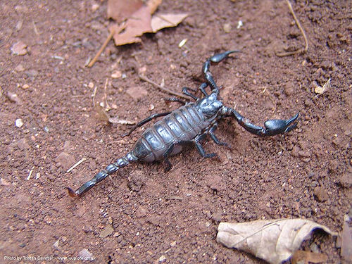 scorpion, arachnida, scorpion, wildlife, ประเทศไทย