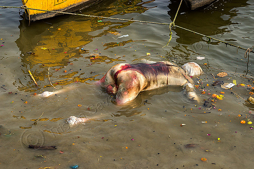 bloated decomposed cadaver floating on the ganges river (india), bloated, blood, cadaver, corpse, dead, death, decomposed body, decomposing, floating, ganga, ganges river, hindu, hinduism, human remains, india, man, putrefied, varanasi