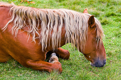 blonde horse resting, blond horse, blonde horse mane, feral horse, field, grassland, lying down, napping, red horse, resting, sleeping, turf, wild horse