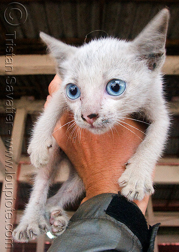 blue eyed stray kitten, blue eyed, blue eyes, claws, dirty nose, hand, laos, stray cat, white cat, white kitten