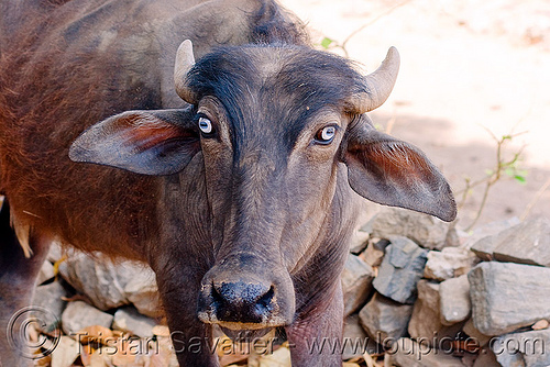 blue-eyed water buffalo, blue eyes, clear eyes, cow, kumbalgarh, kumbhalgarh, udaipur, water buffalo, कुंभलगढ़