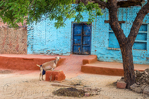 blue house with goat (india), blue house, goat, india, khoaja phool, village, खोअजा फूल