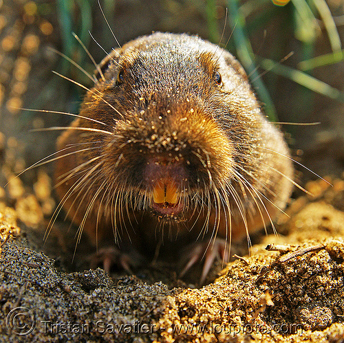 botta's pocket gopher (thomomys bottae), botta's pocket gopher, burrowing, geomyidae, rodent, rodentia, teeth, thomomys bottae, true gopher, valley pocket gopher, wildlife