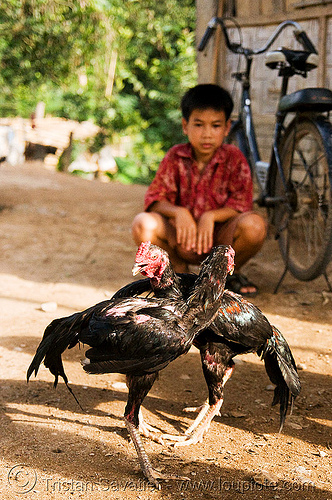 boy and his gamecocks - cockfighting (laos), birds, boy, cock fight, cockbirds, cockfighting, fighting roosters, gamecocks, laos, luang prabang, poultry