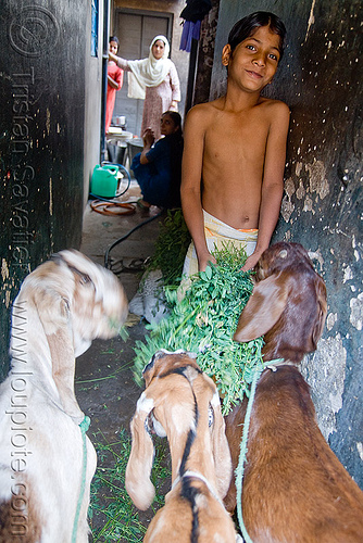 boy feeding goats - jaipur (india), boy, goats, jaipur