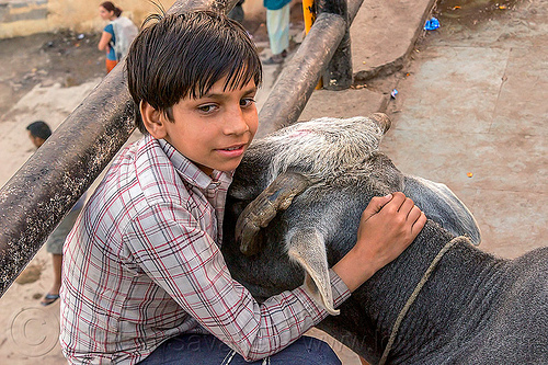 boy with his cow (india), boy, child, ghats, india, kid, neck, sitting, street cow, varanasi, water buffalo