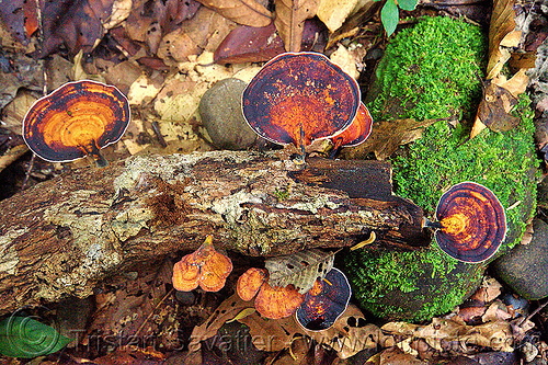 bracket fungus on dead wood, fongus, fungi, gunung mulu, gunung mulu national park, jungle, plant, rain forest, shelf fungi, shelf fungus, shell fongi, shell fongus, tree fongus