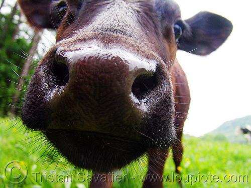 brown cow nose - close-up, brown cow, close-up, cow nose, cow snout, head, nostrils, wet