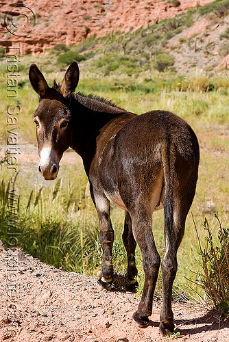 brown donkey, asinus, burro, chains, donkey, equine, equus, feet, legs, mule, noroeste argentino, pony, restraint, shackled, shackles, working animal