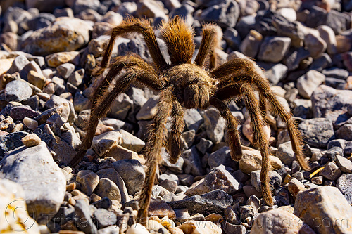 brown tarantula spider close-up (death valley), brown, close-up, death valley, grotto canyon, spider, tarantula, wildlife