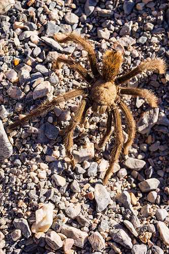 brown tarantula spider (death valley), brown, close-up, death valley, grotto canyon, spider, tarantula, wildlife