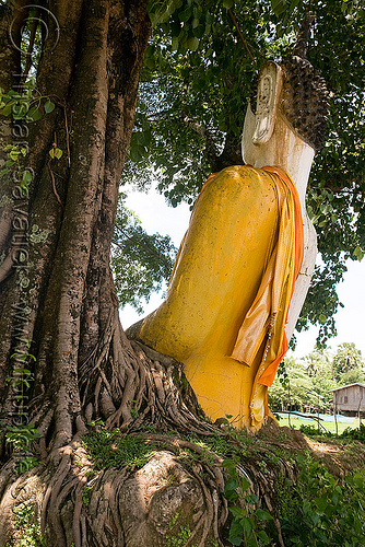 buddha statue and tree roots, buddha image, buddha statue, buddhism, cross-legged, khmer temple, tree roots, wat phu champasak