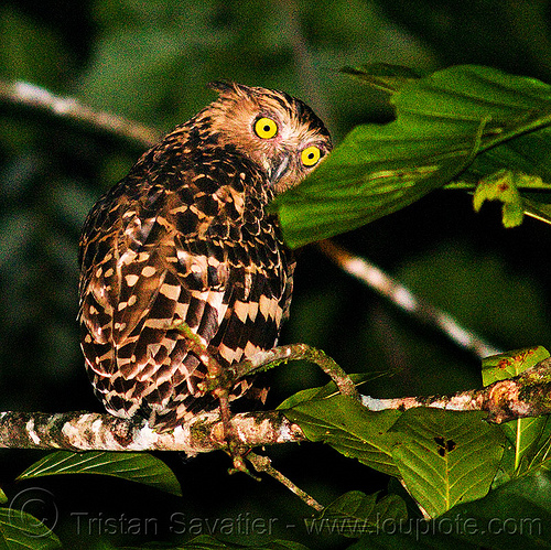 buffy fish-owl, bird of prey, borneo, branch, buffy fish-owl, ketupa ketupu, kinabatangan river, leaves, malaysia, night, nocturnal bird, raptor, sukau, tree, wild bird, wildlife, yellow eyes