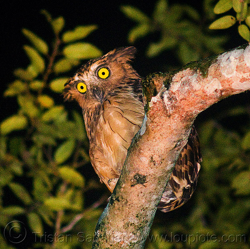 buffy fish owl, bird of prey, branch, buffy fish-owl, ketupa ketupu, kinabatangan river, leaves, night, nocturnal bird, raptor, sukau, tree, wild bird, yellow eyes