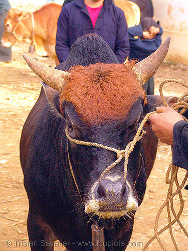 bull head - rope, bull market, cattle market, cow nose, cow snout, head, mèo vạc, rope, vietnam