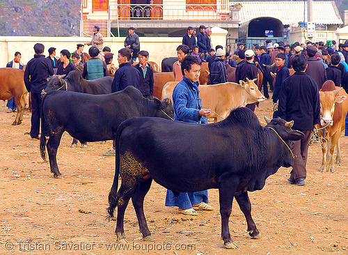bull market - vietnam, bull market, bulls, cattle market, cows, hill tribes, indigenous, mèo vạc
