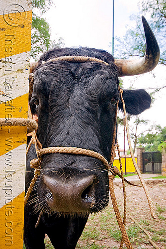 bull's head, bull, cow nose, cow snout, head, horns, noroeste argentino, pole, rope, salta, san lorenzo