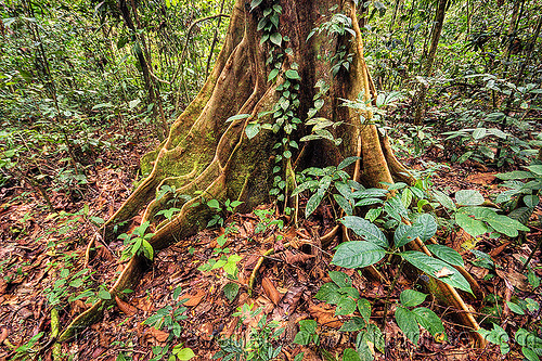 buttress roots - tualang tree (borneo), borneo, buttress roots, climbing plants, creeper plants, gunung mulu national park, jungle, malaysia, rain forest, tree roots, tree trunk