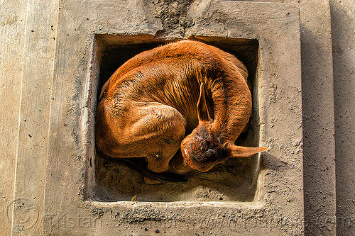 calf curled-up and sleeping (india), baby cow, calf, curled-up, india, rishikesh, sleeping