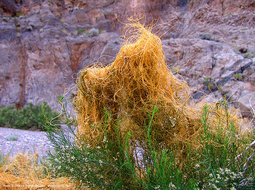 california dodder - cuscuta californica, california dodder, cuscuta californica, death valley, desert, fall canyon, orange, parasitic plant, vines