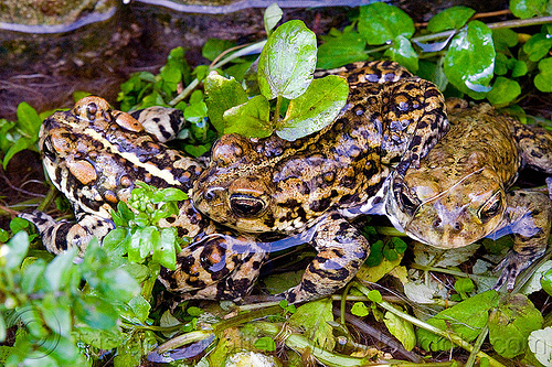 california toads in darwin falls (death valley), amphibian, anaxyrus boreas halophilus, california toads, darwin falls, death valley, mating, pond, western toads, wildlife