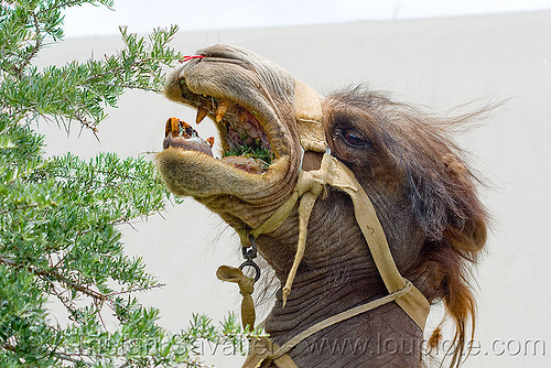camel eating bush - teeth - harness, camel herd, canines, double hump camel, harness, hundar, ladakh, nubra valley, teeth