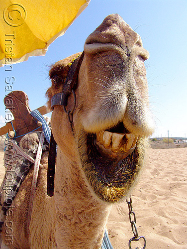 camel head - regurgitating, camel, chewing, head, mouth, regurgitate, regurgitating, teeth, working animal