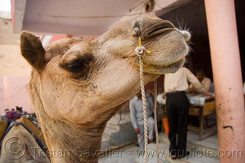 camel head with nose ropes - jaipur (india), camel, head, india, jaipur, nose, nostrils, ropes, working animal