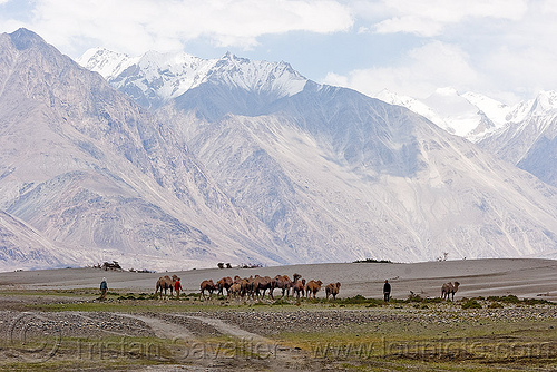 camel herd - nubra valley - ladakh (india), camel herd, double hump camels, hundar, india, ladakh, mountains, nubra valley