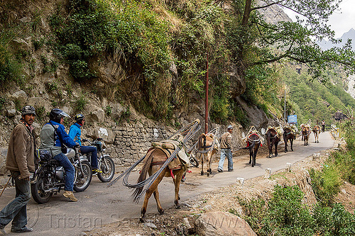 caravan of pack horses carrying rebars on mountain road (india), alaknanda valley, caravan, carrying, govindghat, motorbike touring, motorbikes, motorcycle touring, motorcycles, mountains, mules, pack animals, pack horses, rebars, road, royal enfield bullet, working animals