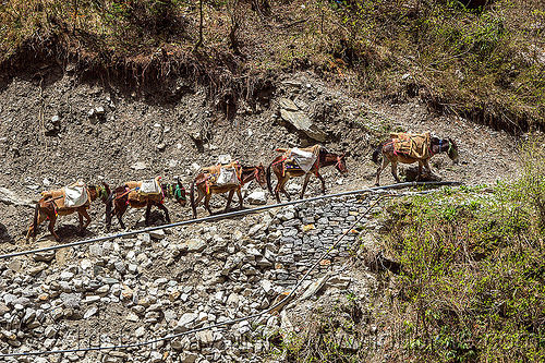 caravan of pack mules on mountain trail (india), caravan, india, mountains, mules, pack animals, pack horses, treking, working animals, yamunotri trail, yamunotri trek