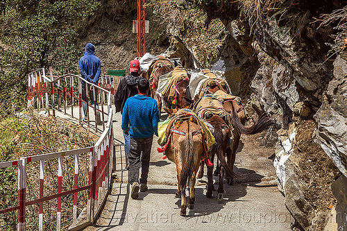 caravan of pack mules on the yamunotri trail (india), caravan, men, mules, pack animals, pack horses, treking, working animals, yamunotri trail, yamunotri trek