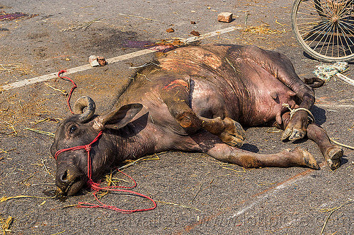 carcass of water buffalo killed in truck accident (india), carcass, cow, crash, dead, india, injured, lying, road, rope, traffic accident, truck accident, water buffalo