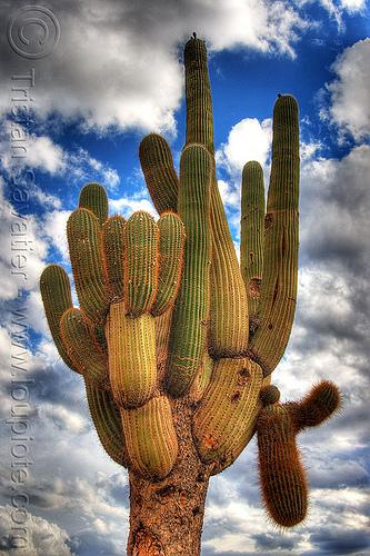 Card n cactus argentina for Cactus argentina