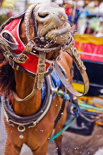 carriage horse, draft horse, draught horse, horse bridle, horse harness, horse mask, horse snout, java, jogja, jogjakarta, yogyakarta