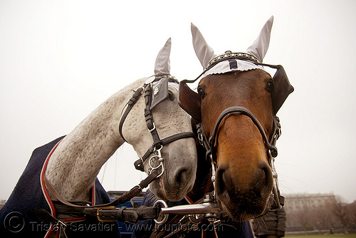 carriage horses - vienna, blinders, ear covers, harness, love, two, wien