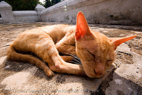cat napping (laos), ears, ginger cat, kitten, laos, luang prabang, skinny, sleeping, stray cat, tabby cat