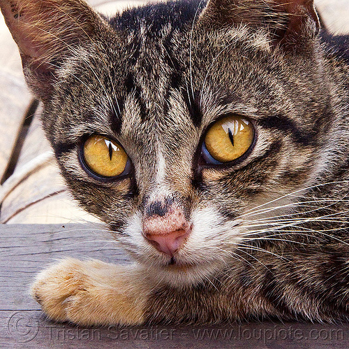 cat with big yellow eyes, annah rais, borneo, head, kitten, malaysia, tabby cat, whiskers, yellow eyes