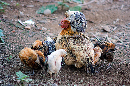 chick on hen, birds, cage-free, chickens, chicks, hen, laos, poultry