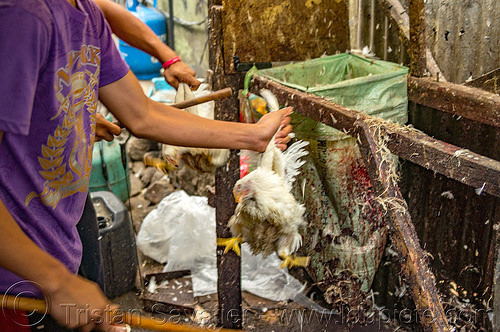 chicken beaten alive for pinikpikan (philippines), baguio, battered, beaten, beating, chicken, philippines, pikpik, pinikpikan, poultry, slaughtering, stick