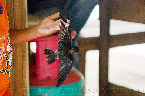 child holding baby bird, baby bird, boy, child, kid, madai caves, playing, swiftlet, wings