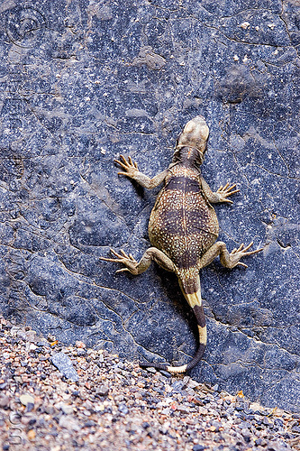 chuckwalla climbing rock - fat lizard (death valley), chuckwalla, cliff, climbing, death valley, grotto canyon, lizard, rock, sauromalus ater, slot canyon, wildlife