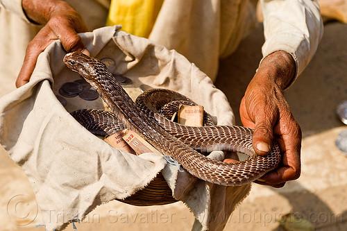 cobra snake handler (india), bank notes, basket, cobra, cobre snake, coins, donations, hands, hindu, hinduism, holding, kumbha mela, maha kumbh mela, money, paush purnima, reptile, snake charmer, snake handler, street performer