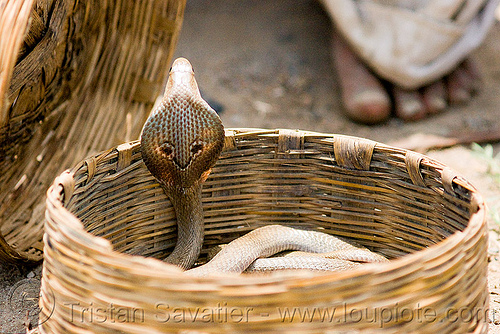 cobra snake in basket (india), basket, endangered species, indian cobra, naja naja, protected species, rattan, reptile, snake charmer, snake charming