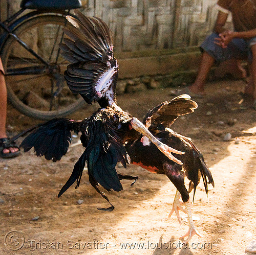cockfighting - luang prabang (laos), birds, cock fight, cockbirds, cockfighting, fighting roosters, gamecocks, luang prabang, poultry