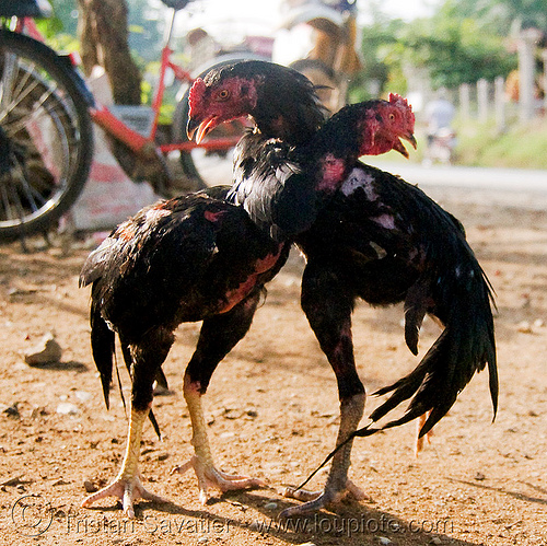 cockfighting - luang prabang (laos), birds, cock fight, cockbirds, fighting, fighting roosters, gamecocks, poultry