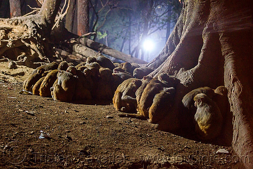 colony of macaque monkeys sleeping on the ground (nepal), macaque, monkey, night, sitting, sleeping, wildlife