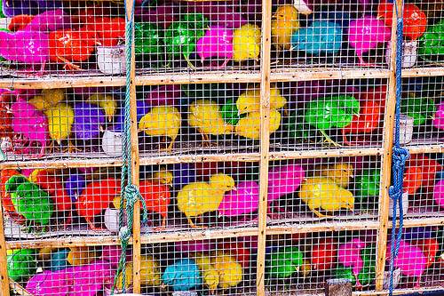 colored chicks in cages, baby chickens, bird cage, birds, colored chicks, colorful, indonesia, poultry, rainbow colors
